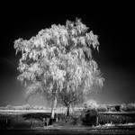 Winter Tree Infrared...