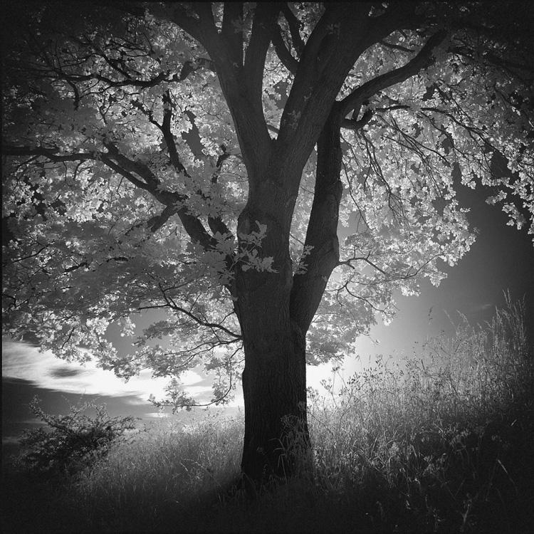 Tree infrared by MichiLauke