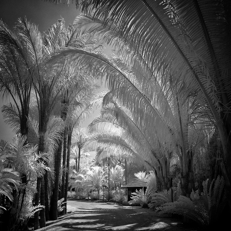 Palm Trees infrared by MichiLauke