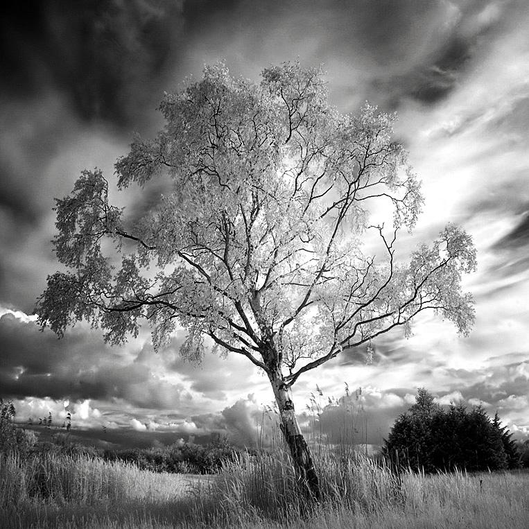 Birch infrared