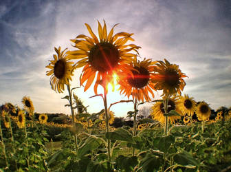 Holy Sun Flowers by MichiLauke