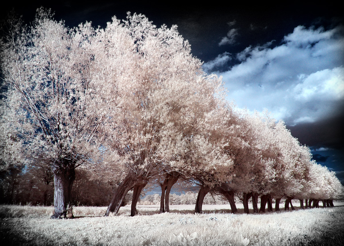 Spring Willow Trees infrared by MichiLauke