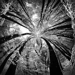 White Snow in Magic Black Forrest