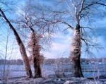 Winter Trees infrared