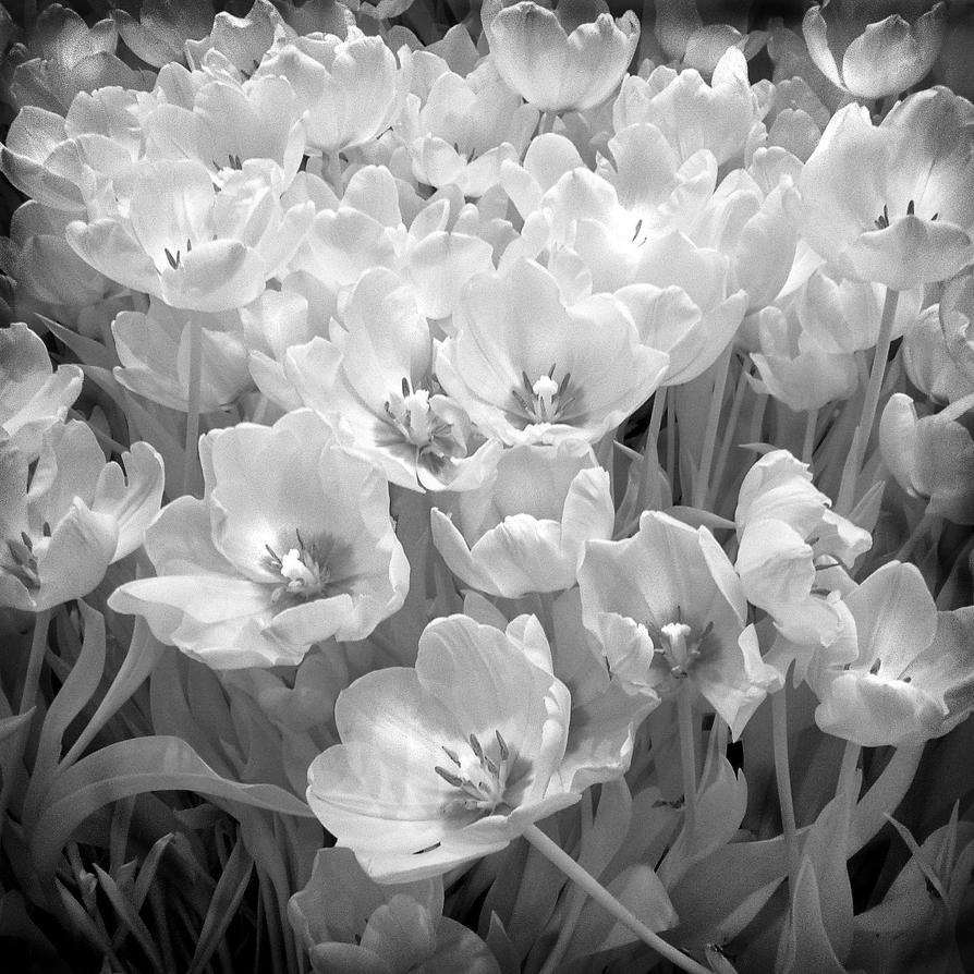Spring Greetings Infrared bw by MichiLauke
