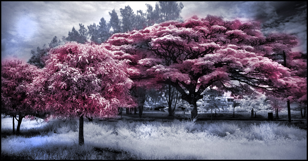 Thai Schoolyard Tree infrared by MichiLauke
