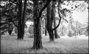 Old Trees - Berlin Botanical Garden infrared by MichiLauke