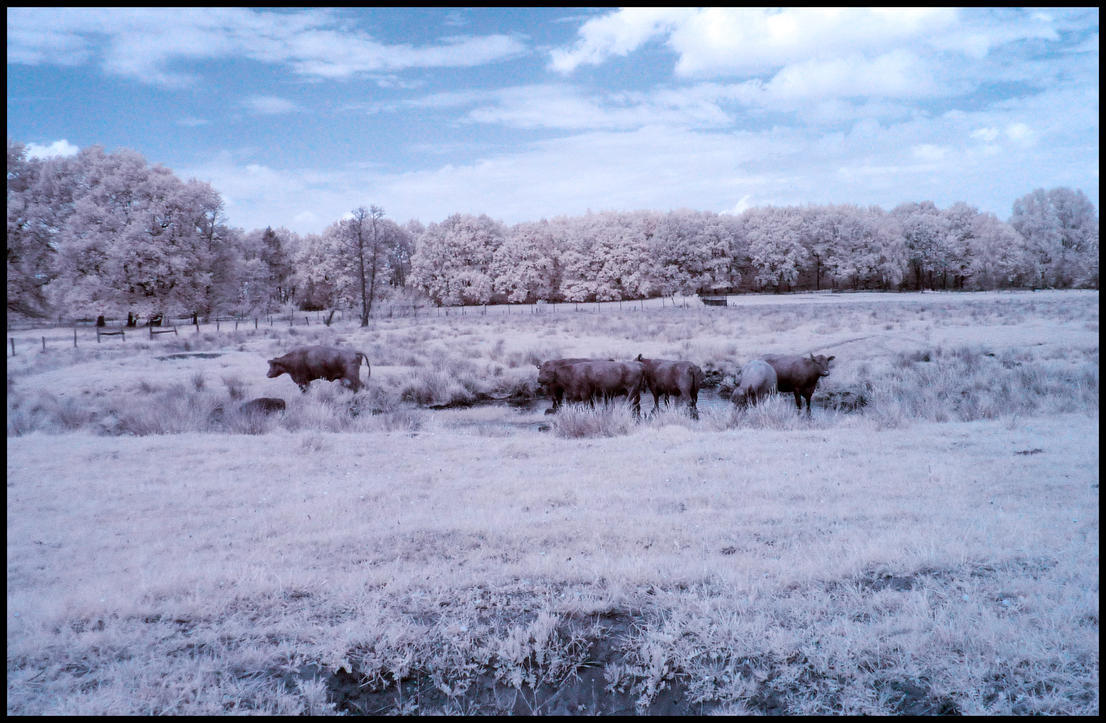 Water Buffaloes infrared by MichiLauke