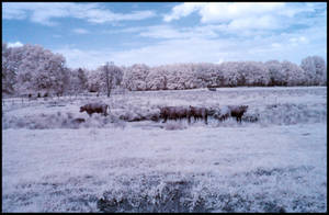 Water Buffaloes infrared