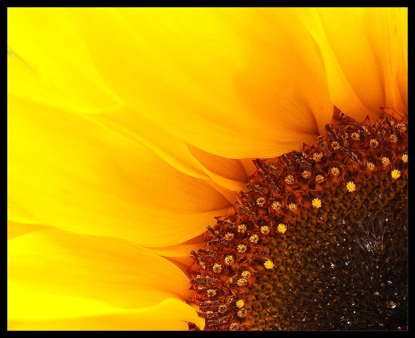 Sunflower flambeed... by MichiLauke