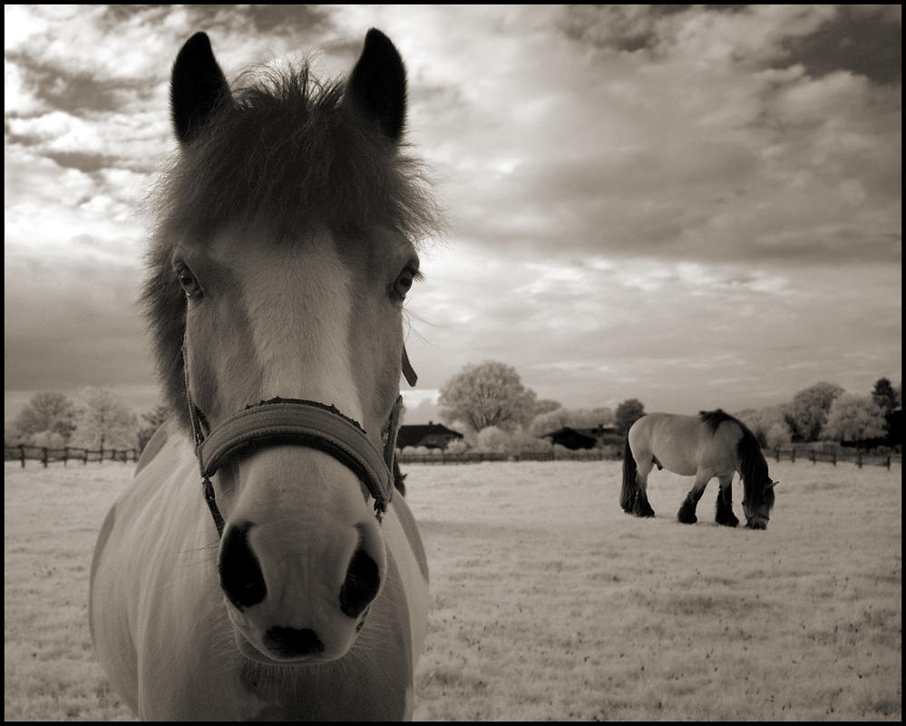 Two Horses IR Infrared by MichiLauke