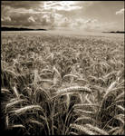 Fields of Gold in Sepia...