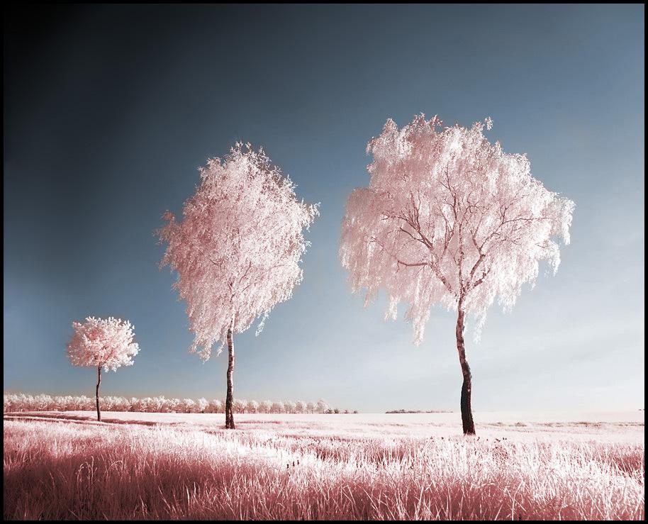 Three Birches infrared . . . by MichiLauke