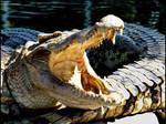 Crocodile...