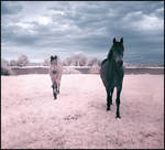 Horses Dream infrared...