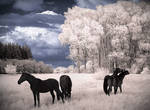 Horses Dreams IR Infrared