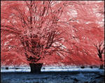 Red Tree infrared...