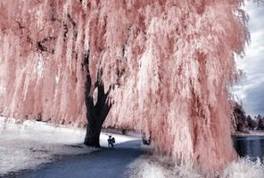 Willow Tree infrared... by MichiLauke