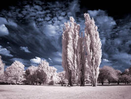 Cottonwood Trees infrared... by MichiLauke