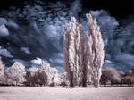 Cottonwood Trees infrared...