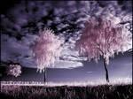 Three Birches infrared ...