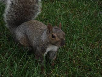 squirrel by avvelenatore