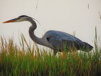 Tri-colored Heron (2) by knighttemplar1