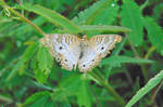 White Peacock Butterfly (4)