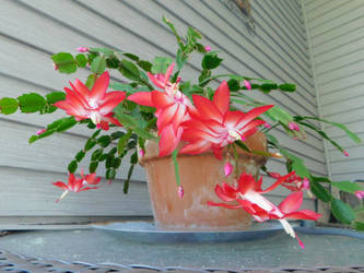 The Christmas cactus in bloom (1) by knighttemplar1