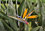 Bird of Paradise in bloom (2)
