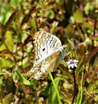 White Peacock butterfly (6)