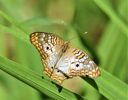 White Peacock Butterfly (9)