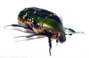 Beetle by Chacka-Lacka