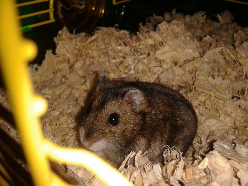 how to tell male from female hamsters