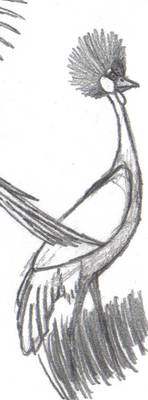 African Crowned Crane Sketch