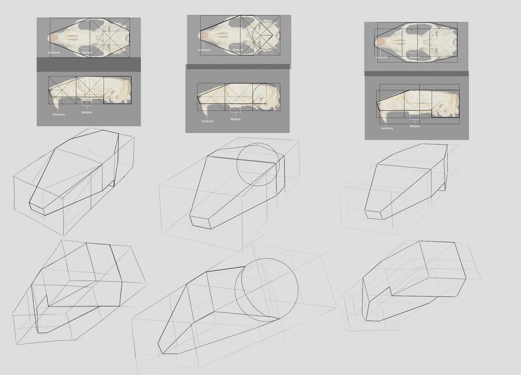 254 Rat Anatomy Study Sketches Skull By Rodentnomnom On Deviantart