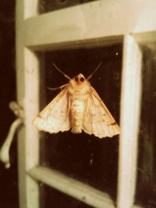 Moth by CheBertrand
