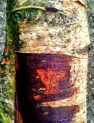 Birch-face by CheBertrand