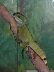 Iguana1 by unordinalwhimsey