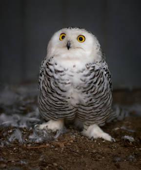 Snowy owl 24.09.2020.2