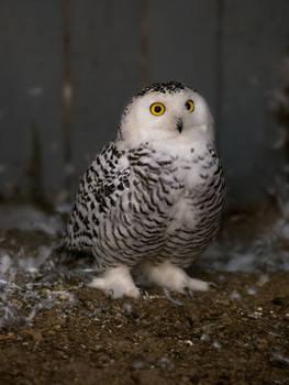 Snowy owl 24.09.2020.3