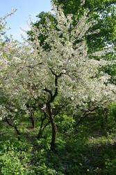 Russian Sakura