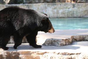 Black Bear by leighta