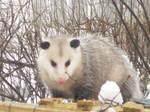 Hansom opossum