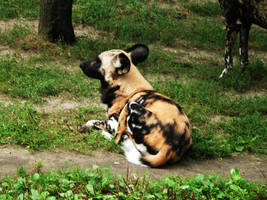 African Wild Dog I by 5nw