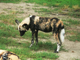 African Wild Dog II by 5nw