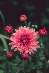 Colden-daisy