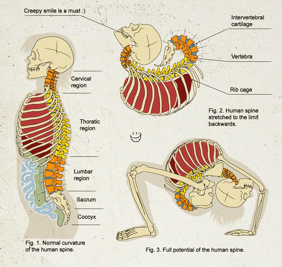 Human Spine By Yuni On Deviantart