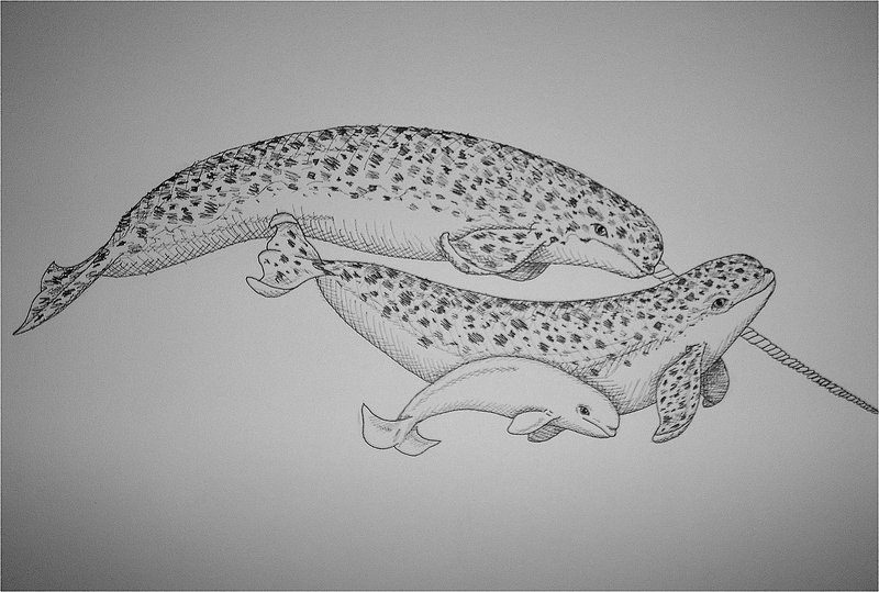 Cross-Hatched Narwhal Family by Marine-Mammal-Club