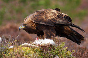 Golden Eagle and Mountain Hare by joeelway